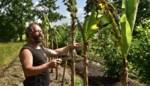 De tropische plantenkwekerij van Dimitri: van kousenbandboon over sponskomkommer en pepino's tot knolcapucienen