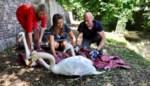 """Ruziënde zwanenfamilie keert na half jaar terug naar Brugse Reien: """"Al zien ze er sierlijk uit, ze kunnen agressief uit de hoek komen"""""""