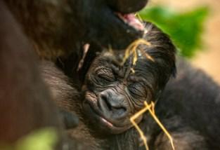 Bijna 6.000 bezoekers van de Zoo hebben naam gekozen voor pasgeboren babygorilla