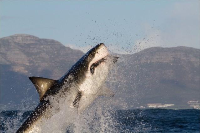 Zo sluw gaat een witte haai te werk om een walvis te doden