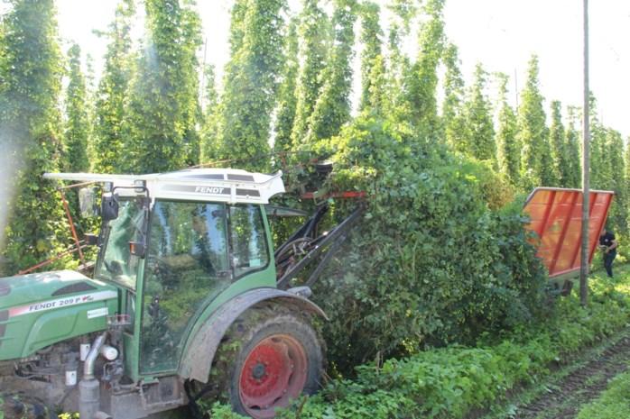 Dringend gezocht: mannelijke hopplanten (niet voor het bier maar voor de kweek)