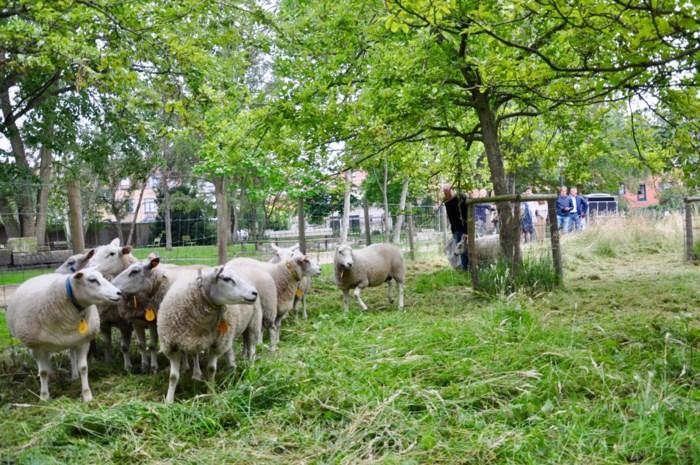 Niet landbouwer maar aannemer laat schapen weer grazen in binnenstad