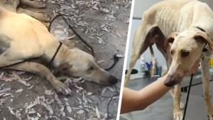 """Zwaar mishandelde hond overleeft miraculeus nadat het in rivier werd gedumpt: """"Is wel nog erg mensenschuw"""""""
