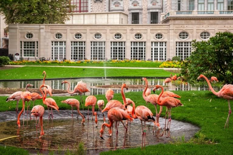 Twee donzige flamingokuikens kruipen uit hun ei in de Zoo