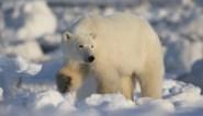 Tegen 2100 zullen er bijna geen ijsberen meer zijn