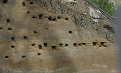 Jonge oeverzwaluwen vliegen uit in de Kleiputten