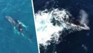 Straffe dronebeelden: orka's spelen genadeloos kat-en-muisspel met bultrug en kalfje