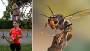 """Jacht op schadelijke Aziatische hoornaars is geopend: """"Als je er ziet, meld het dan meteen"""""""