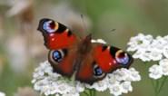 Klein koolwitje voert ranglijst Grote Vlindertelling weer aan