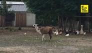 Lama werpt kalf in Labiomista  voor ogen van bezoekers