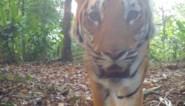Voor het eerst in vier jaar wilde tijgers gespot in Thaise jungle