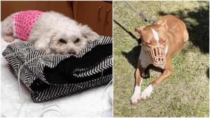 """Hondje Trixie (6) doodgebeten door pitbull, maar baasjes koesteren geen wrok: """"De hond gaf ons een pootje, een muilkorf is voldoende"""""""
