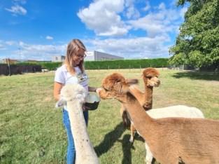Wandel deze zomer eens met een alpaca