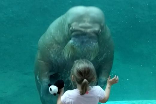 Meisje in Pairi Daiza krijgt lieve begroeting van walrus: beelden gaan de wereld rond