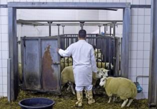 Politie sluit twee illegale slachtplaatsen, schapen zijn in beslag genomen