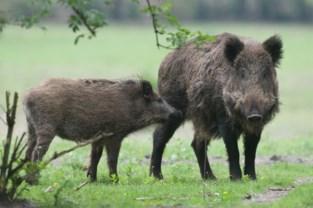 """Tamme everzwijnen gespot in Turnhouts Vennengebied: """"Deze varkens horen hier niet thuis"""""""