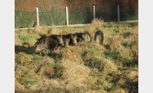Everzwijnen nu ook al gespot in de Vennestraat