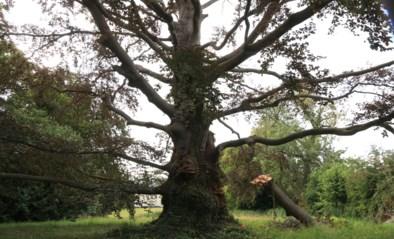 Bekendste boom van Waasmunster verliest tak
