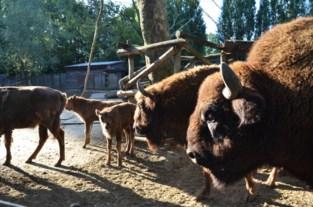 """Babyboom bij Europese bizons in Bellewaerde: """"Heel belangrijk voor het kweekprogramma"""""""