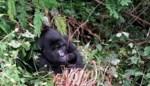 Twee zeldzame berggorilla's geboren in Oeganda