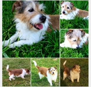 Dierengedragstherapeut wil protocol als hond door andere hond wordt aangevallen