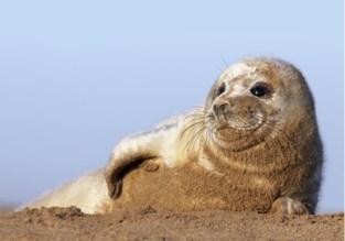 """Wandelaars spotten zeehond aan sas: """"Nog nooit zo ver van natuurlijke habitat verzeild geraakt"""""""
