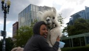"""""""No drama lama"""": schattig dier brengt rust in soms hevige betogingen in Portland"""