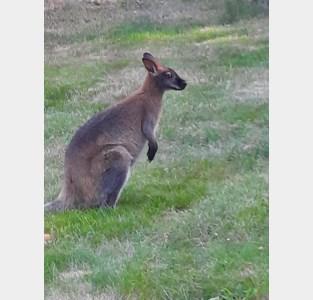 Kolberg staat voor een raadsel: kangoeroe huppelt al enkele dagen vrolijk rond