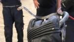 Dodelijke cobra duikt op in lading hout in Gentse haven: vanuit Kameroen meegereisd