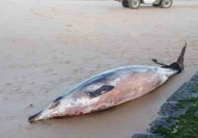 Zeldzame dolfijn van 500 kg spoelt aan in Wenduine