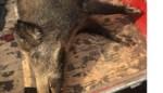 Aanrijding loopt slecht af voor everzwijn
