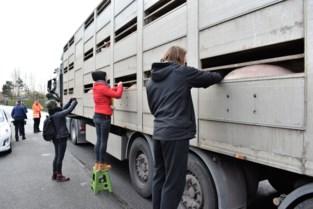 Animal Rights verwijt Tielts slachthuis varkens geen verkoeling te gunnen in extreme hitte