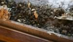 Ook last van wespen? Al meer dan duizend oproepen bij Gentse brandweer deze week