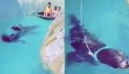 """Belgisch familiepark onder vuur voor beelden van zeeleeuw die bootje voorttrekt: """"Dit is geen dwang, hij deed dit uit zichzelf"""""""