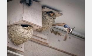 Huiszwaluwen voelen zich nog steeds thuis in de Rupelstreek