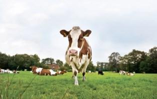 Politie houdt klopjacht op… koeien