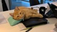 """Mysterie rond 'vermiste' kat Toulouse is opgelost: """"We hebben nieuwe thuis voor hem gezocht"""""""