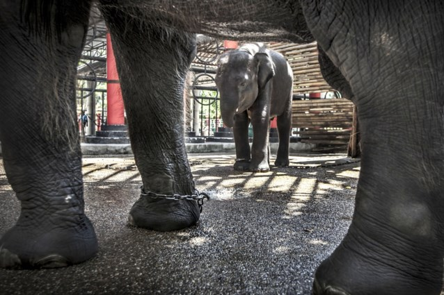 """Olifantenleed in Thailand fors gestegen"""