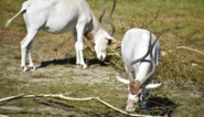 Dit keer gingen de antilopen lopen: vierde ontsnapping in twee jaar voor Planckendael