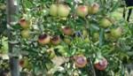 Appels koken in de bomen, maar telers hebben pech: zonnebrand valt niet onder weersverzekering