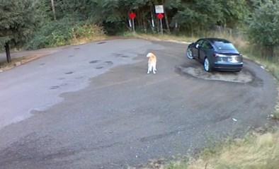 Hartverscheurend: vrouw doet alsof ze met labrador gaat wandelen, maar dumpt hem en rijdt er snel vandoor