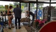 VIDEO. Wat doet een varken nadat het is uitgebroken? Naar de supermarkt gaan, zo blijkt