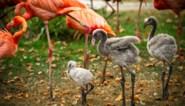 Schattig: flamingokuikens zetten hun eerste stapjes in de Antwerpse zoo en zorgen meteen voor nieuw record