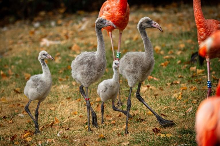 Schattig: flamingokuikens zetten hun eerste stapjes in de Antwerpse zoo en breken meteen ook een record