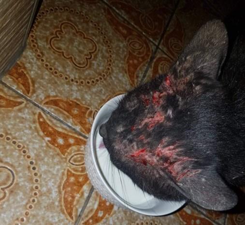 Vermiste kat komt mishandeld terug thuis