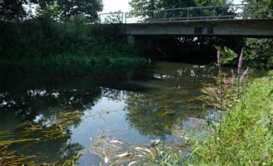 """Duizenden dode vissen in Vlaanderens zuiverste rivier door hevige stortbuien: """"Opruimen? Er was geen beginnen aan"""""""