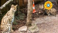 De verstoten babe van de savanne: peperdure serval is in België strikt verboden, maar toch te vinden in menig huiskamer