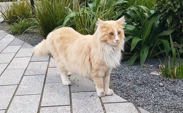 Wordt een kat Nieuw-Zeelander van het jaar?