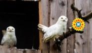 Sedna & Nanoek zijn statig, een klein beetje arrogant maar nooit zo lief als Hedwig. Waarom de films van Harry Potter sneeuwuilen meer kwaad dan goed deden