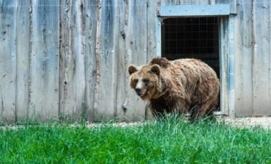 Jarenlang mishandeld, maar dankzij dierenopvang leiden deze getraumatiseerde beren nu alsnog een heerlijk leven